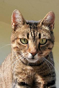 Tracey Harrington-Simpson - Portrait Of A Cute Tabby Cat With Direct Eye Contact