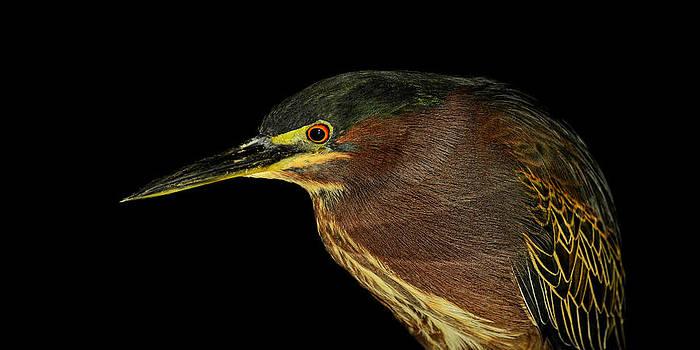 Portrait of a green heron by Stuart Harrison