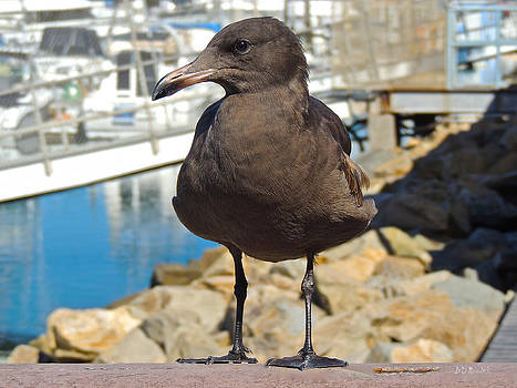 Portrait of a Grumpy Gull by Brian D Meredith