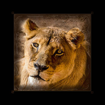 Portrait of a Lioness Framed by Sheryl Cox