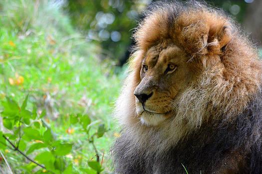 Portrait of a male lion by Steen Hovmand Lassen