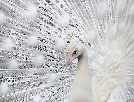 Portrait of a Peacock by Jennie Breeze