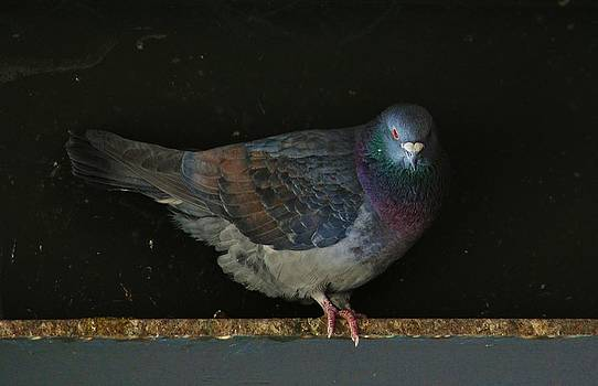 Joy Bradley - Portrait of a Pigeon