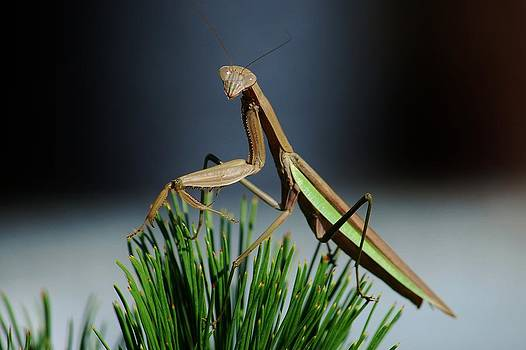 Joy Bradley - Portrait of a Praying Mantis