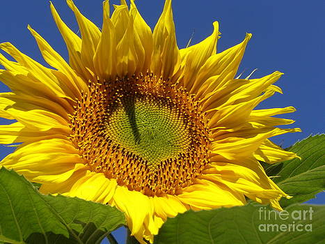 Portrait of a Sunflower by Diane Miller