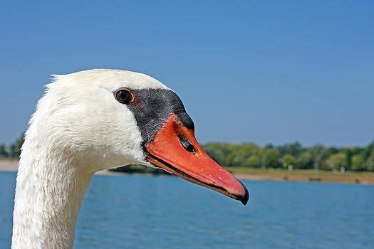 Portrait of a Swan by Borislav Marinic