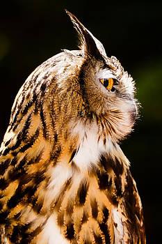 Portrait of Eurasian eagle owl by Robert Hainer