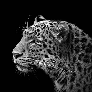Portrait of Leopard in black and white III by Lukas Holas