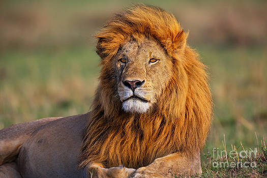 Portrait of Lion Romeo II in Masai Mara by Maggy Meyer