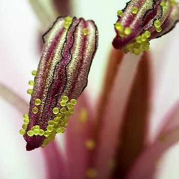 Portrait of pollen by Mr Bennett Kent