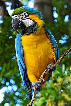 Posing Blue and Yellow Macaw by Bibi Rojas
