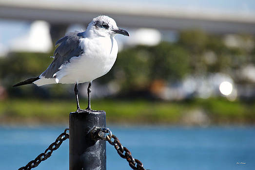 Posing Seagull by Bibi Rojas
