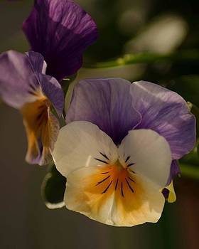 Pot pf Pansies by Maria Suhr