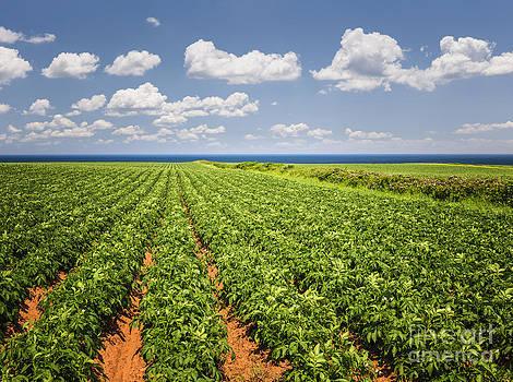 Elena Elisseeva - Potato field in Prince Edward Island