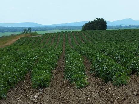Potato Field in Summer by Gene Cyr
