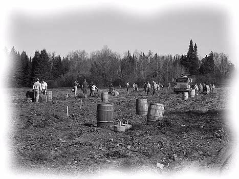 Potato Harvest 11 by Gene Cyr