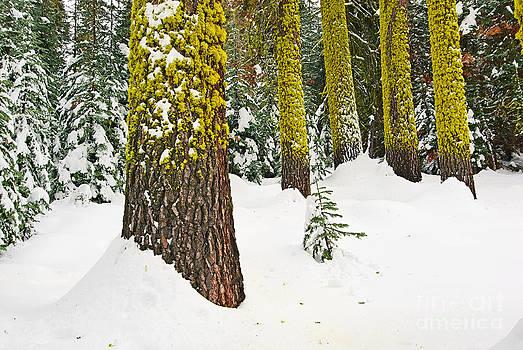 Jamie Pham - Potential - Winter scene of Badger Pass in Yosemite National Park