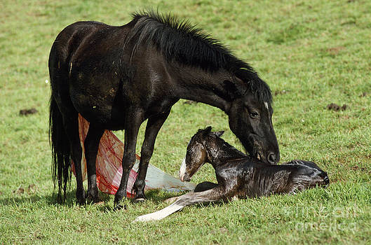 Jean-Paul Ferrero - Pottok Horse Mare And Newborn Foal