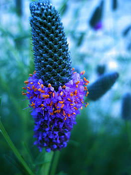Gilbert Photography And Art - Prairie Clover