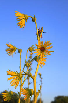 Prairie Compass Plant by Ed Cilley