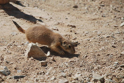 Prairie Dog 1 by Kelly Youngblood