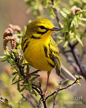 Prairie Warbler by Lloyd Alexander-Pictures for a Cause