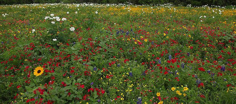 Susan Rovira - Prairie Wildflowers