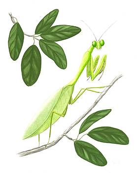 Praying Mantis by Anna Bronwyn Foley