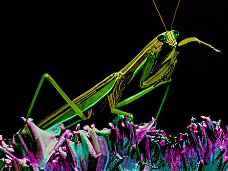 Praying Mantis Macro Closeup #5 by Leslie Crotty