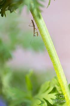 Susan Gary - Praying Mantis