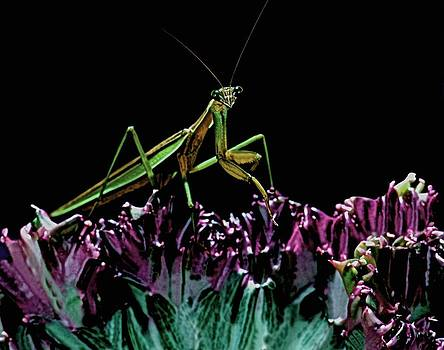 Praying Mantis  walking on cactus plant looking at me by Leslie Crotty