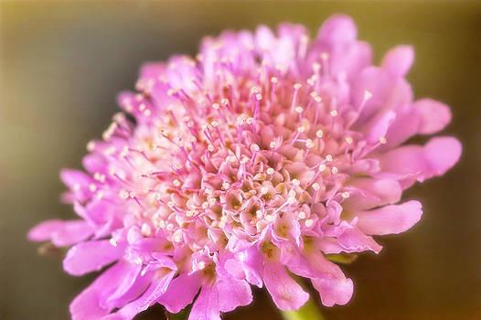 Precious Pink by Joan Bertucci