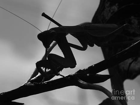 Melissa Lightner - Predator Prey Mantis