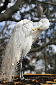 Preening Great Egret by Bruce Gourley