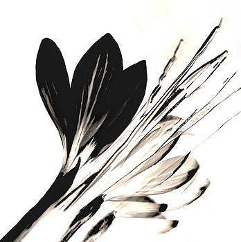 Pressed Flower Black Crocus by  Andrea Lazar