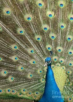 Sabrina L Ryan - Pretentious Peacock