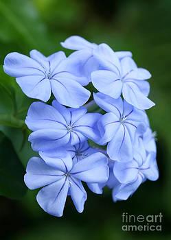 Sabrina L Ryan - Prettiest Plumpago Flowers