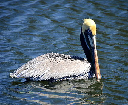 Linda Rae Cuthbertson - Pretty Boy Pelican