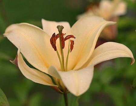 Pretty Lily by Emelyn McKitrick