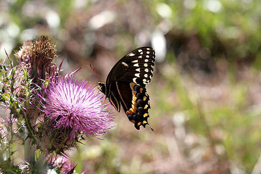 Pretty Palamedes on a Purple Thistle by April Wietrecki Green