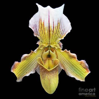 Susan Wiedmann - Pretty Paphiopedilum Orchid