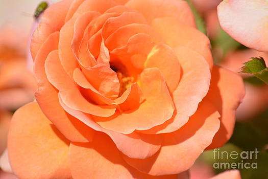 Pretty Peach Rose by P S