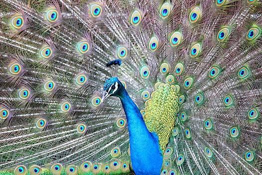 Pretty Peacock by Elizabeth Budd