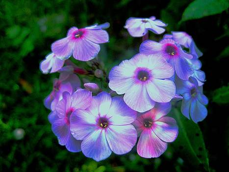 Pretty Pink Phlox by Will Boutin Photos