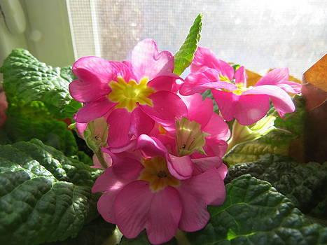 Pretty Pink Primrose by Elisabeth Ann