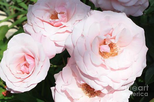 Danielle Groenen - Pretty Pink Roses
