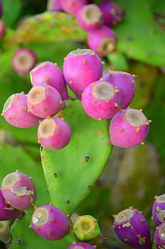 Prickly Pear by Riad Belhimer