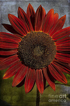 Primitive Sunflower 2 by Cindi Ressler