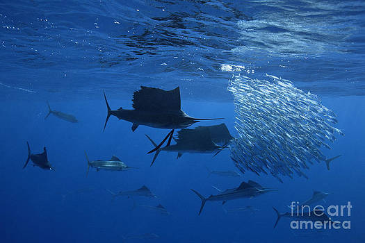 Prized Sail Fish Gamefish School Hunting Baitfish In Open Ocean by Brandon Cole