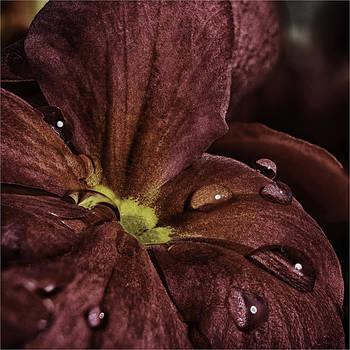 Nigel Jones - Processed Primula
